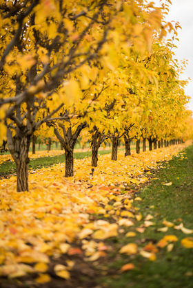 Orchards in Autumn