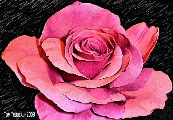 Rose - Oil Painting by Tommi Trudeau.