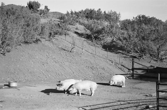 Farm Sanctuary 01 (Pigs)