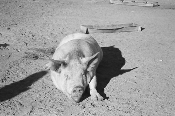 Farm Sanctuary 03 (Pigs)