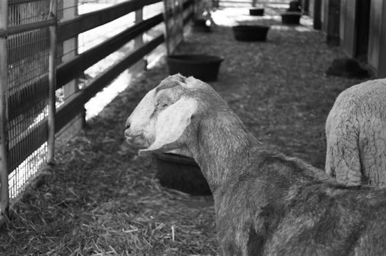 Farm Sanctuary 12 (Goat)
