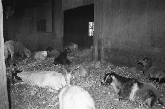 Farm Sanctuary 14 (Goats)